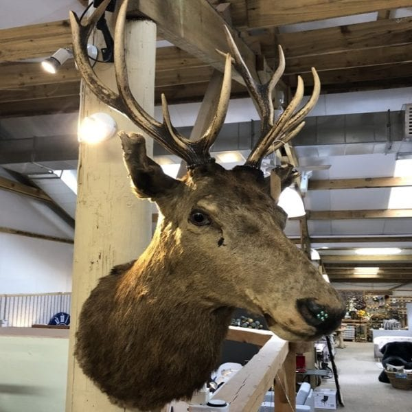 Victorian Stags Head Taxidermy