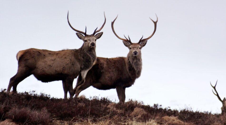Deer on Atholl Estates Highland Perthshire