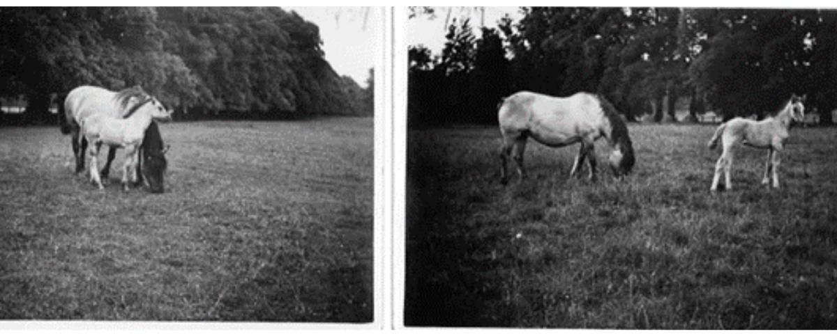 Atholl Estates Highland Ponies