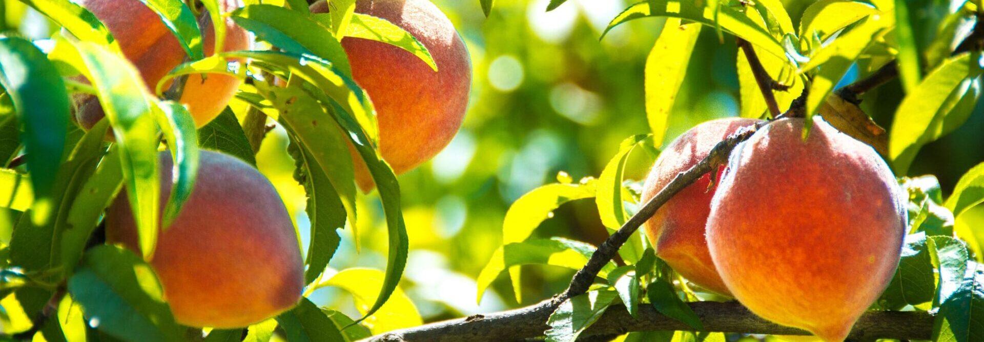 peaches-on-tree