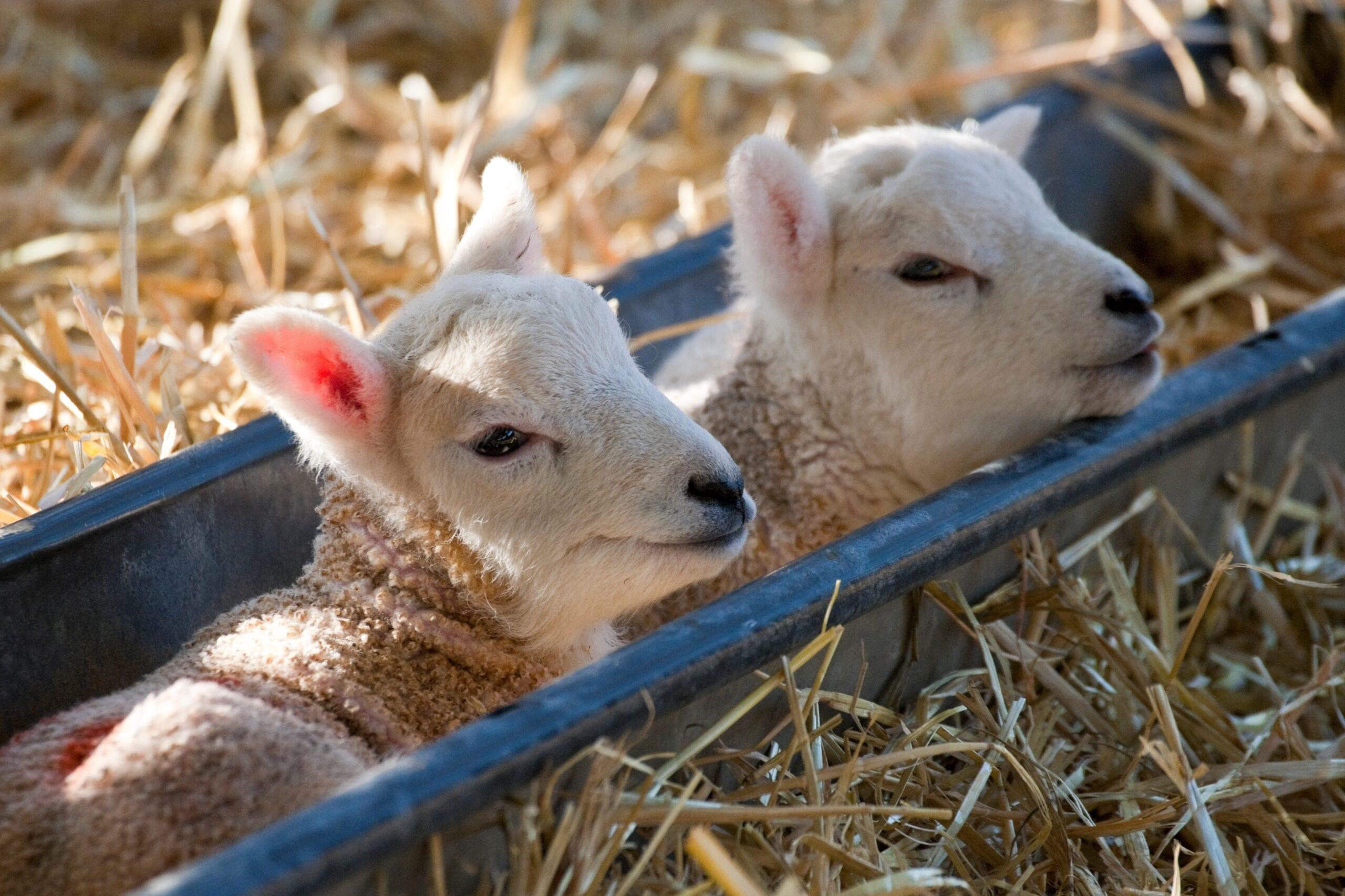 Lambing Season Begins