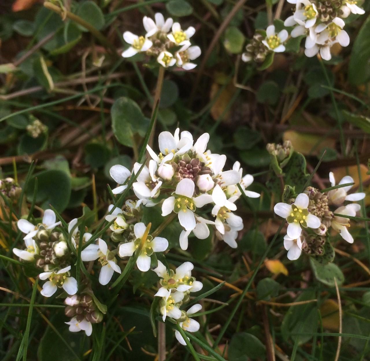 Wild Plant Stories Scurvygrass by Jan Hendry
