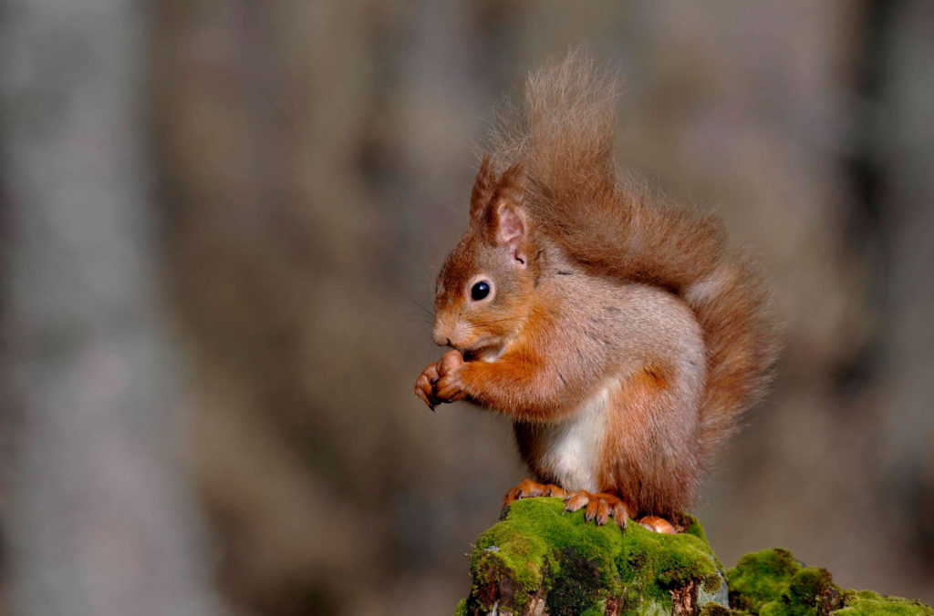 Red Squirrel on the Fife path