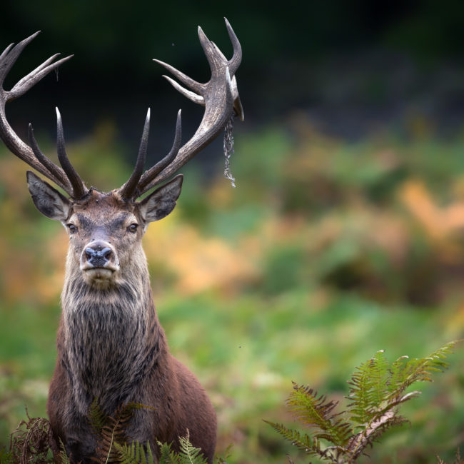 A beautiful red stag portrait.