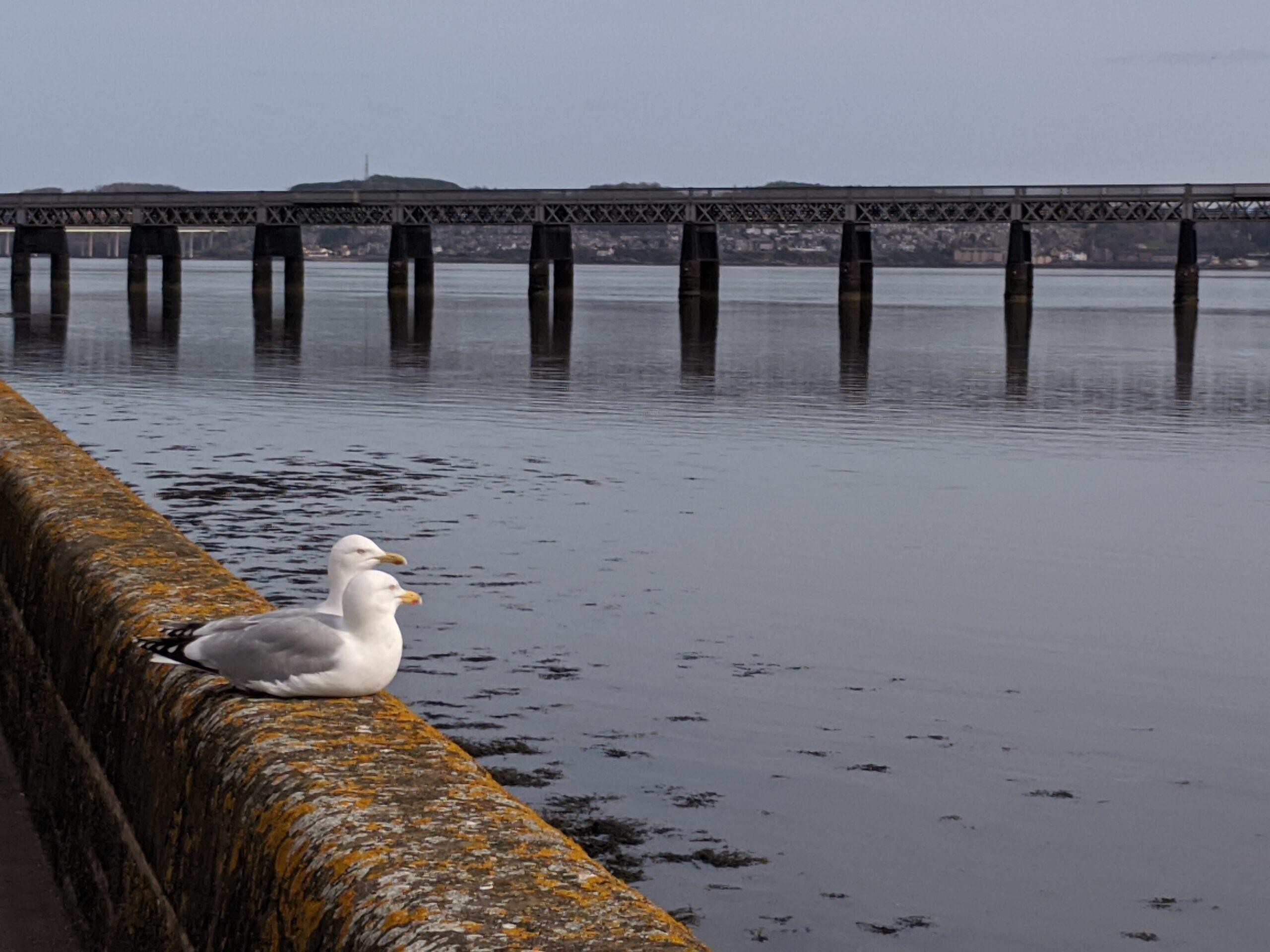 Seagulls and Tay rail bridge