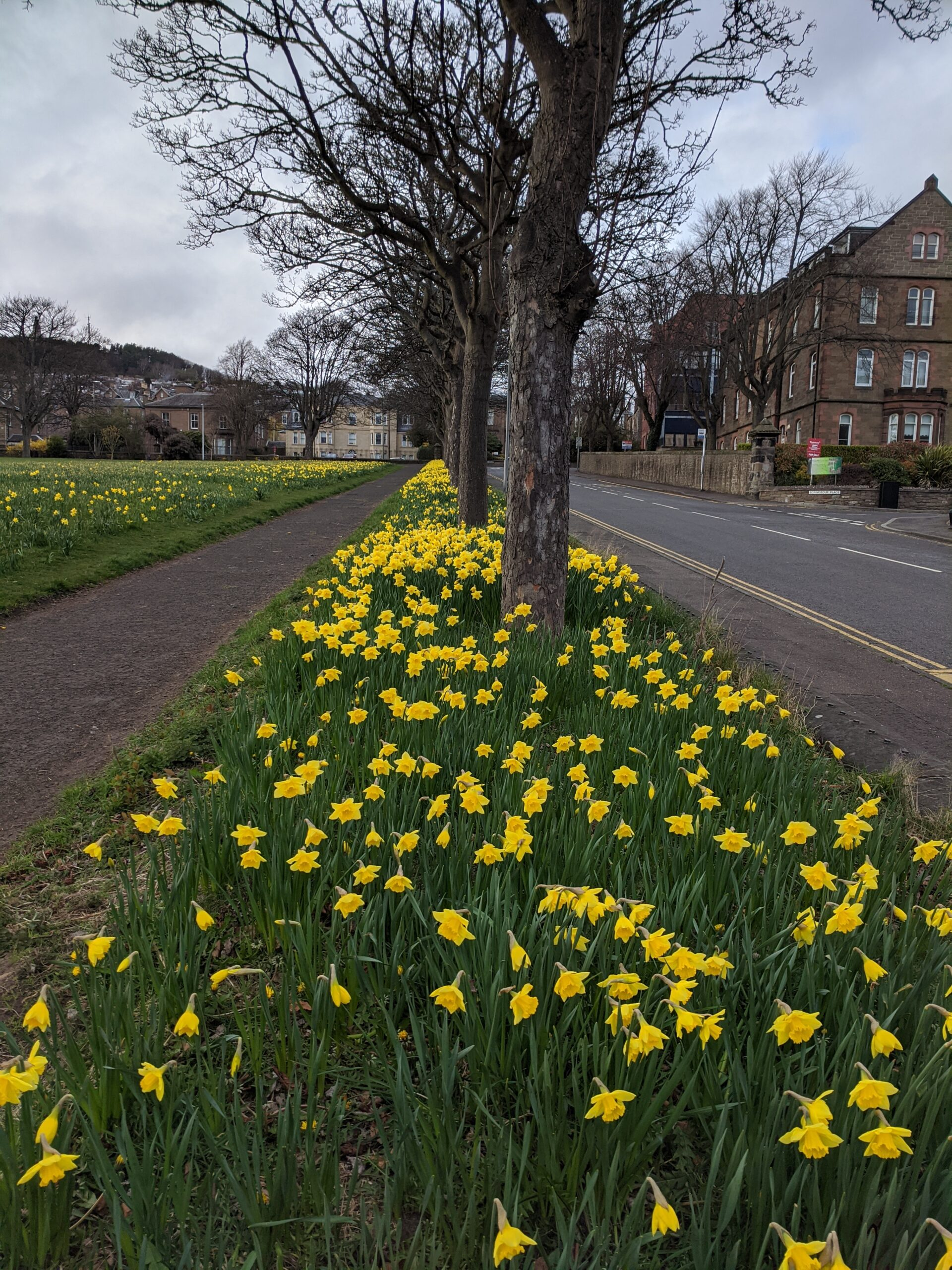 Daffodils in Dudhope Park, Dundee